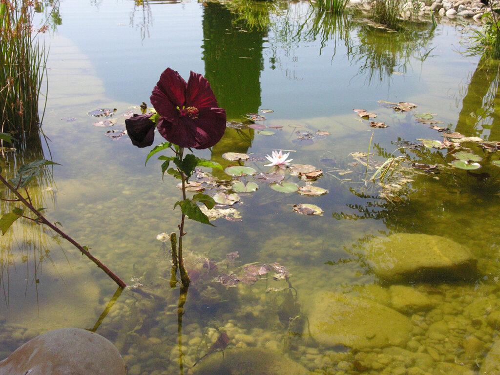 Pianta acquatica Hibiscus