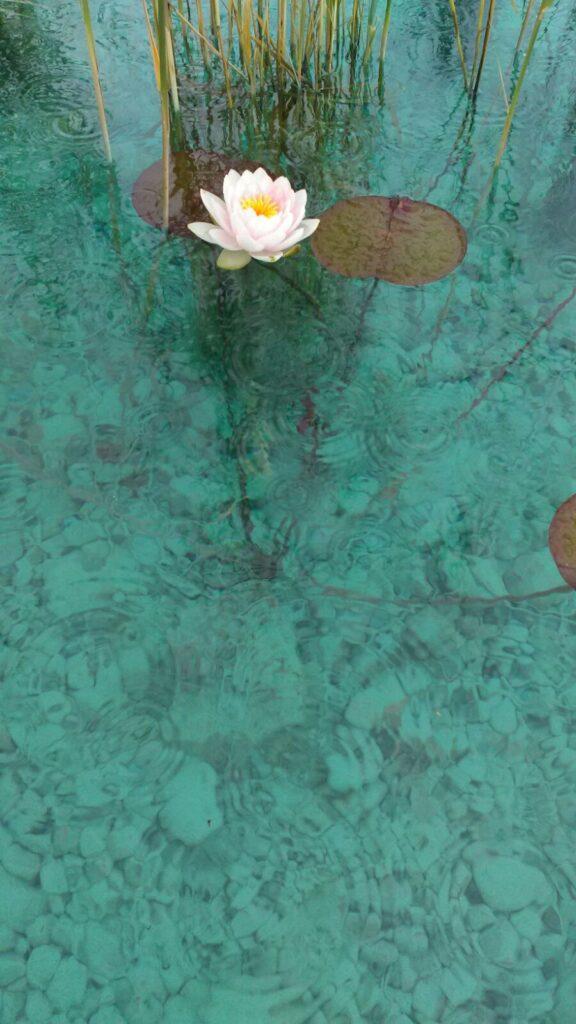 piante acquatiche, fitodepurazione, biolago, piscina naturale